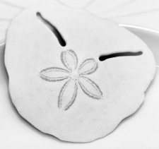 Our emblem, the Pansy Shell